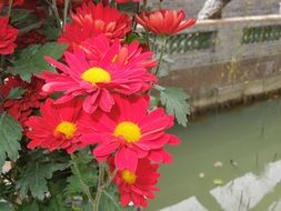 bright chrysanthemum flowers in the park