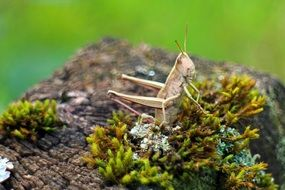 Grasshopper closeup