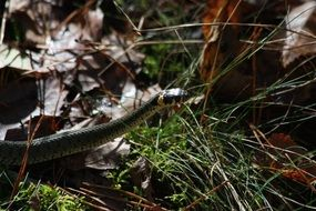 grass snake nature litter