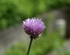 Beautiful chives blossom