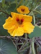 bright orange nasturtium flower
