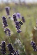 bumblebee collecting lavender nectar