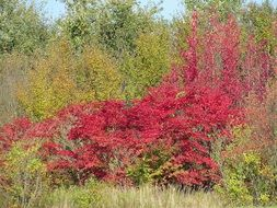 red bush in fall