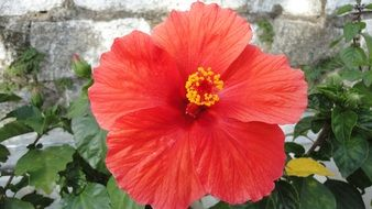 red hibiscus near a stone wall close-up