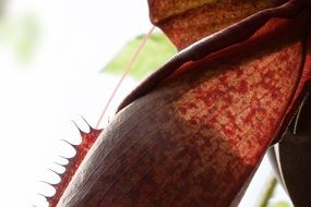carnivorous red pitcher plant