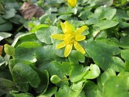 Yellow flower celandine among green leaves