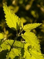 nettle under the sun