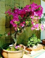 blooming pink bougainvillea, bonsai