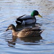 duck male and female