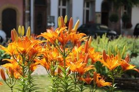 orange lilies on the flowerbed in the city
