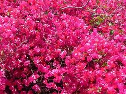 Pink bougainvillea flower bush