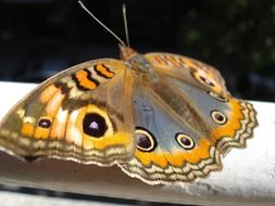 peacock butterfly on a white pipe