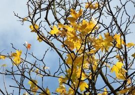 bright yellow maple leaves in november