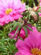 colorful pink portulaca closeup