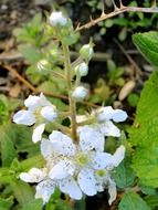 wild blackberry flowers