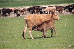 cow with calf on the background of the flock