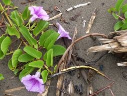 purple bindweeds on the wet sand of the coast
