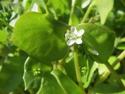 claytonia perfoliata indian lettuce