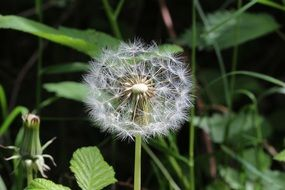 dandelion with seeds among green grass