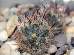 mammillaria is a species of cacti