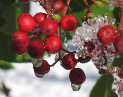 red berries in frost