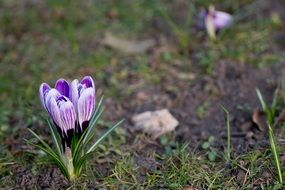 wonderful crocus spring bloom