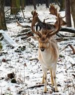 fallow deer in winter forest