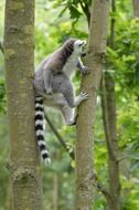 ring tailed lemur in tropical forest