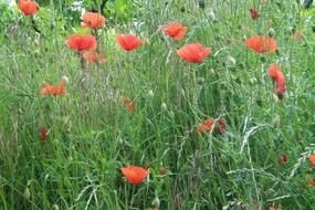 red poppies on a summer green meadow