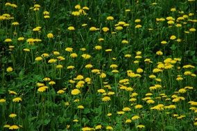 Meadow of yellow dandelions