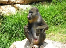 baboon in natural environment