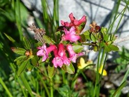 pink flowers in the alpine mountains