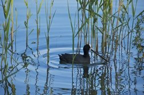 Eurasian coot in the lake