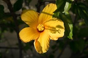 magnificent hibiscus yellow flower