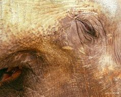 skin of african elephant close up
