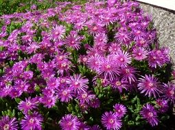 pink flowers on a bush of an ice plant