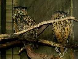 two owls in captivity