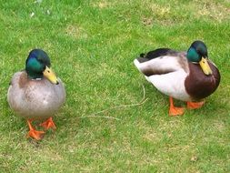 two colorful ducks on green grass
