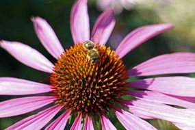 purple echinacea with a bee