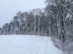 bare forest at snowy winter
