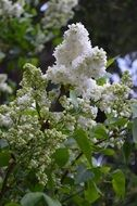 beautiful white lilac blooming
