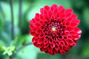beautiful bright burgundy dahlia flower