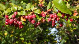 crabapple, wild apple tree with red fruits