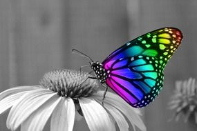 colorful butterfly on black and white flower
