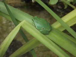 Beautiful and cute green frog on the leaf