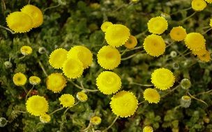 Cotula, yellow flowers close up