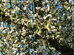 tree with white berries of mistletoe