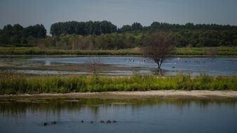 waterfowl on lake at summer, rural landscape
