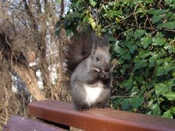 gray squirrel on a wooden bench