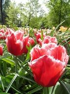 red tulips with green leaves in the park